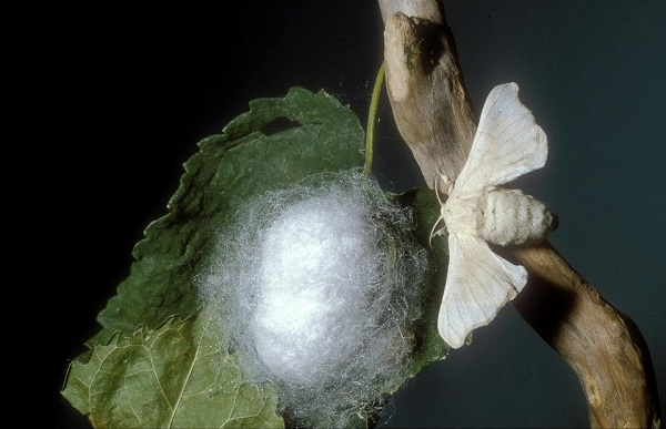 Bozzolo e adulto di Baco da seta - Bombyx mori L.